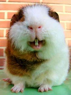 smile :) #guineapig
