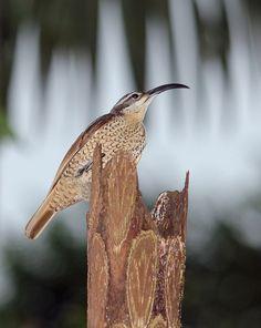 Paradise Riflebird female (Ptiloris paradises)