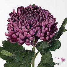 Chrysant sgl. gilbert leigh purple