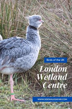 Looking for things to do in London? Do you love the London outdoors? Are   you interested in a fun London walk? Check out London birds at the   London Wetland Centre and go birdwatching in London England #London   #England #ThingstodoLondon Travel Around Europe, Travel Around The World, Around The Worlds, London Wetland Centre, England Countryside, Things To Do In London, Birdwatching, Northern Ireland, Amazing Nature