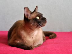 Chocolate Burmese