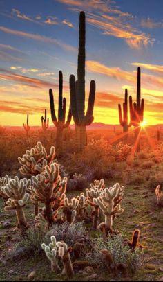 desert sunset saguaro cacti, cactus