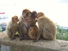 Monkeys on the Rock of Gibraltar