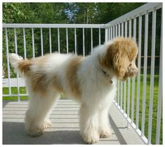 Copper White and Red Parti Goldendoodle