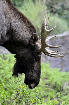 Moose by Michael.Doering, via Flickr; Haverkamp, Germany