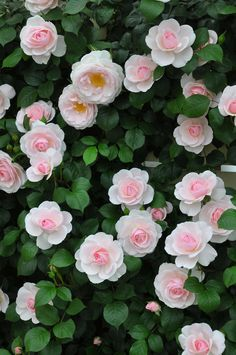 Gorgeous Rose Garden Ideas On This Year To Try Asap Awesome 88 Gorgeous Rose Garden Ideas On This Year To Try Asap.Awesome 88 Gorgeous Rose Garden Ideas On This Year To Try Asap. Small Rose Garden Ideas, Rose Garden Design, Garden Wallpaper, Flower Wallpaper, Flowers Perennials, Planting Flowers, Beautiful Roses, Beautiful Gardens, Pretty Flowers