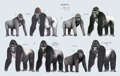Family Hominidae (Great Apes)
