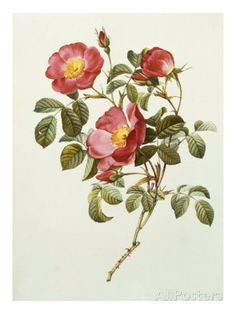 Rosa Gallica Pumila, from Les Roses, 1817-24 Giclee Print- Pierre-Joseph Redoute