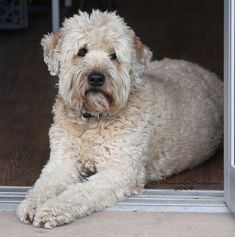 Soft Coated Wheaten Terrier Training & Tips