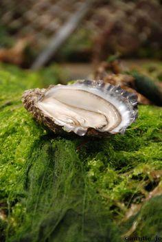 Les huîtres de Marennes-Oléron, Poitou-Charente