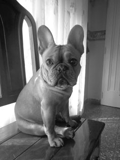 Timotheo, French Bulldog