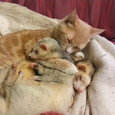 Introduced to his ferret siblings when he was just a kitten, this cat has become inseparable from his buddies and even grooms them while they're sleeping