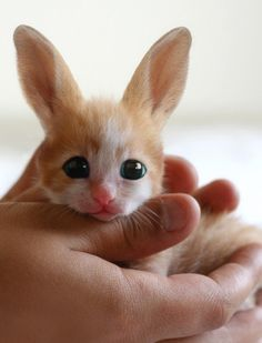 This is a Fennec Hare...he looks like a kitty bunny. And it probably is. Due to the fact is photoshopped. It has been looked up on Google. As well as in an animal encyclopedia. There is no such animal.