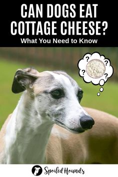 Can dogs eat cottage cheese? Keep your dog safe and find out what you need to know about dogs eating cottage cheese. #dogsafety #doghealth #dogs #doglovers #doginformation #dogownertips #pethealth #cottagecheese Make Dog Food, Best Dog Food, Homemade Dog Food, Dog Nutrition, Animal Nutrition, Benefits Of Cottage Cheese, Diabetic Dog Food, Pregnant Dog, Pet Boarding
