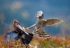 Vida salvagem: presa e predador.