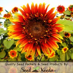 "Grow ""Joker"" Sunflowers from fresh Helianthus annus flower seeds. The Joker is a hybrid variety of Sunflower that produces 6 to 7 inch, pollen free flowers. This beautiful Sunflower displays double, bi-colored blooms in shades of red, orange & yellow. Each plant will stand to a mature height of roughly 4 to 8 feet tall.  http://myseedneeds.com/products/fresh-flower-seeds/sunflower-joker-helianthus-annuus/"
