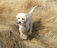 This little pup is on his way to being the worlds best hunting dog #hunting #pheasants