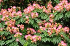Silk Tree | ... silk tree or pink siris. It is usually called silk tree or mimosa