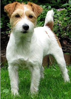 Jack Russell Terrier Dog Breed Profiles