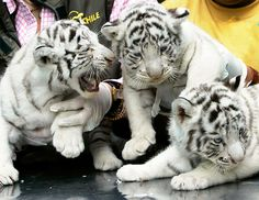 "39-day-old white tigers, the first born in captivity in Chile, were presented to ""society"" at the Metropolitan Zoo in Santiago on Feb. 4, 2008"