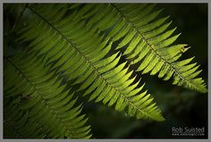 Dappled sunlight on native Soft Tree Fern fronds and leaves (Cyathea smithii) in forest. Long Island, Picton.