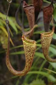 nepenthes colour combinations