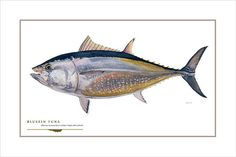 Bluefin Tuna Open Edition Print by Flick by FlickFordFishPrints