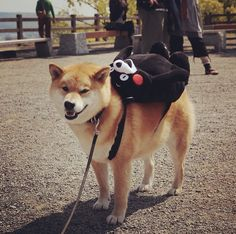 They're always ready for any adventure. | 27 Reasons Shibas Are The Best Dogs Ever
