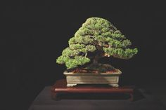 Ibuki Juniper (Juniperus procumbens) by Thomas Mozden