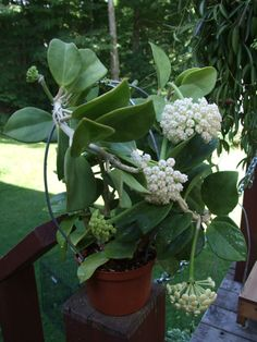 Hoya pachyclada – Wax Plant - See more at: http://worldofsucculents.com/hoya-pachyclada-wax-plant