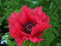 Oriental Poppy 'Bright Star' (Papaver orientale) ............................. 'Super Poppies Series'