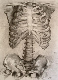 seven hours of pure unadulterated fun with charcoal. vine/compressed/white rib cage and pelvis study Rib Cage Drawing, Figure Drawing, Human Skeleton, Skeleton Art, Anatomy Drawing, Anatomy Art, Rib Cage Anatomy, Japonesas Hot, Bones