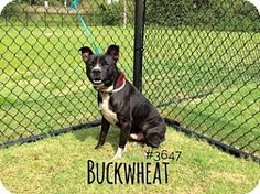 BUCKWHEAT - URGENT - Alvin Animal Adoption Center in Alvin, Texas - ADOPT OR FOSTER - Adult Male Am. Pit Bull Terrier Mix