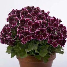 Black Geranium Martha Washington | REGALS (Martha Washington) GERANIUM PLANTS > GERANIUMS > BLACK BEAUTY