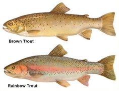 Brown Trout and Rainbow Trout