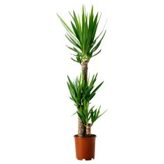$20 YUCCA ELEPHANTIPES Potted plant from IKEA