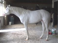 Here is the list of most popular white horse names. Find the perfect name for your white horse. Rare Horse Colors, Horse Coat Colors, Pretty Horses, Horse Love, Beautiful Horses, Albino Horse, What Animal Are You, Burmilla, Ocicat
