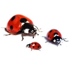 lady bug family....