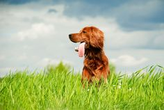 """The """"Setter"""" in Irish Setter refers to a type of gundog, often used for hunting quail, pheasant or grouse. The Irish Setter is known for its long, silky coat that is usually red or chestnut in color."""
