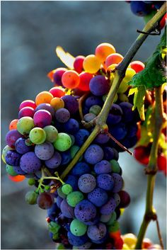 gorgeous colorful grapes