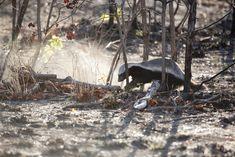 Ratel digging in a burnt field. African Animals, African Safari, Aggressive Animals, Animal Attack, Honey Badger, Wild Nature, Predator, Beautiful Creatures