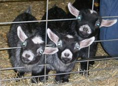 There is nothing cuter than a Pygmy goat kid!  :)