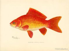 This chromolithograph of a beautiful Goldfish (Carassius Auratus) was created by artist S. F. Denton (Sherman Foote) born in 1856 and died in 1937 Well known for his exquisite drawings of fish, birds,