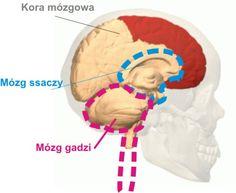 Mózg - trzy w jednym