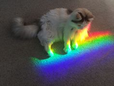 zackshah: this is the rainbow cat, retweet for good luck in your gay relationships