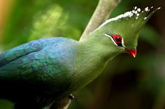 Turaco Knysna (Tauraco corythaix), encontrado na África do Sul. Love Birds, Beautiful Birds, Beautiful World, Birds 2, Knysna, Evergreen Forest, West Africa, South Africa, Animales