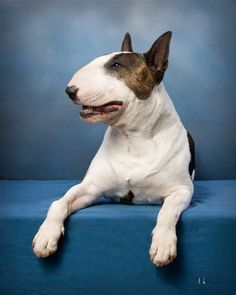 My favorite dog, English Bull terrier