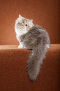 gato Napoleón (de pelo largo) / Napoleon cat (longhair)   http://en.wikipedia.org/wiki/Napoleon_%28cat%29    http://www.thenapoleoncat.com/index.html  http://thenapoleoncat.wordpress.com/2010/05/11/history-of-the-napoleon-cat/
