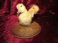 Taxidermy Duckling Two Headed Siamese Freak by shrunkenheaddotcom