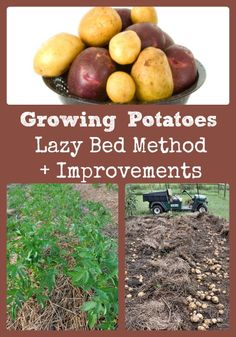 A super easy way to grow awesome homegrown potatoes via Better Hens and Gardens